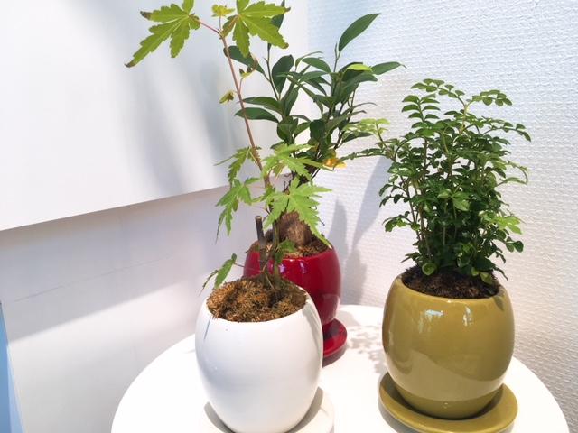 観葉植物 盆栽 カラフル